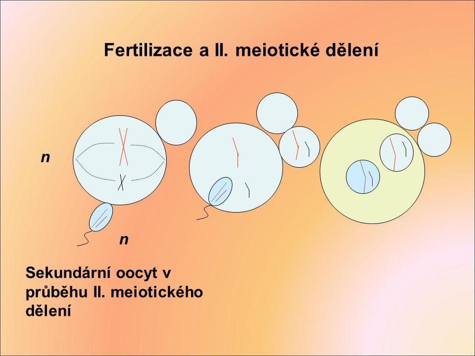 n Fertilizace a II. meiotické dělení n Sekundární oocyt v průběhu II. meiotického dělení