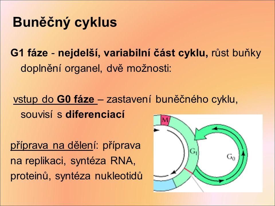 Buněčný cyklus G1 fáze - nejdelší, variabilní část cyklu, růst buňky doplnění organel, dvě možnosti: vstup do G0 fáze – zastavení buněčného cyklu, sou