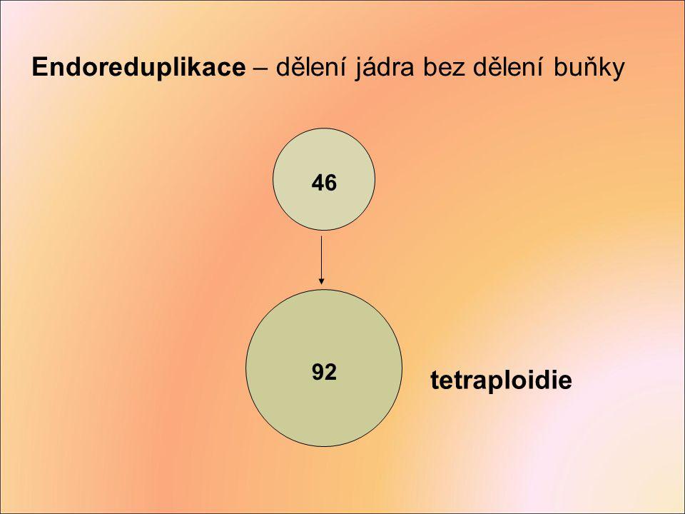 46 92 tetraploidie Endoreduplikace – dělení jádra bez dělení buňky