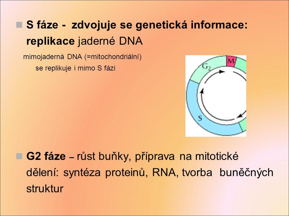 S fáze - zdvojuje se genetická informace: replikace jaderné DNA mimojaderná DNA (=mitochondriální) se replikuje i mimo S fázi G2 fáze – růst buňky, př