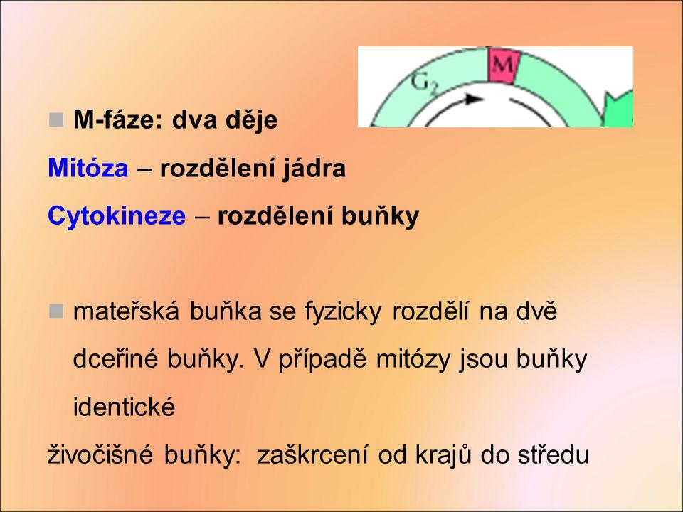 Důsledek: po oplození trizomie/monozomie Důsledek: po oplození monozomie 46 23 24 2223 46 2223 22 23 22 M I M II Opoždění chromozomu v anafázi M I nebo M II Nondisjunkce v M II
