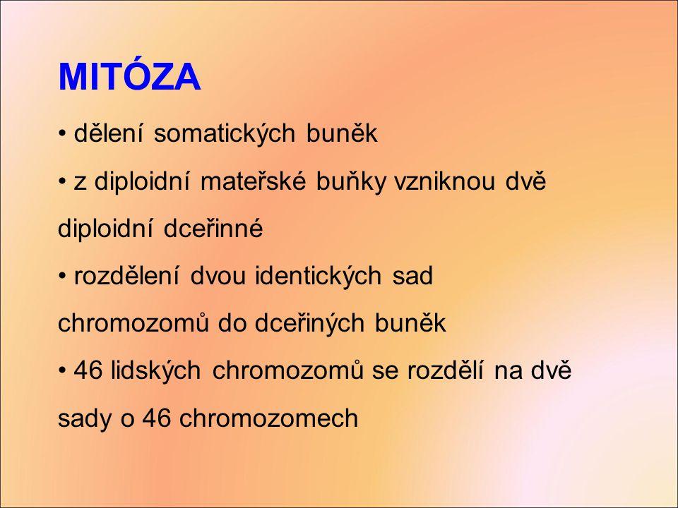 MITÓZA dělení somatických buněk z diploidní mateřské buňky vzniknou dvě diploidní dceřinné rozdělení dvou identických sad chromozomů do dceřiných buně