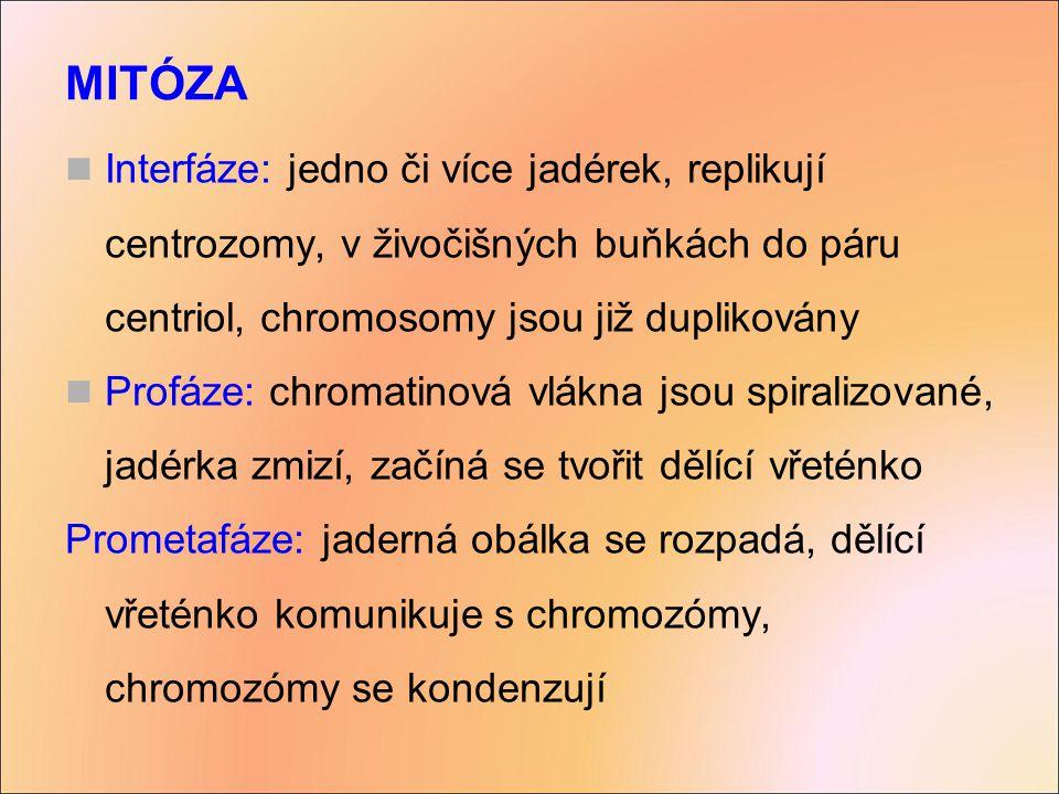 Metafáze: centrozómy na opačných pólech, chromozómy v equatoriální rovině, každý se pojí kinetochorem ke vřeténku Anafáze: chromatidy se posunují směrem k opačným pólům buňky, póly se od sebe oddalují, na konci jsou dvě kolekce chromozomů Telofáze: póly se stále od sebe vzdalují díky vřeténku, formují se jádra, vzniká nukleární obálka, běží cytokineze MITÓZA