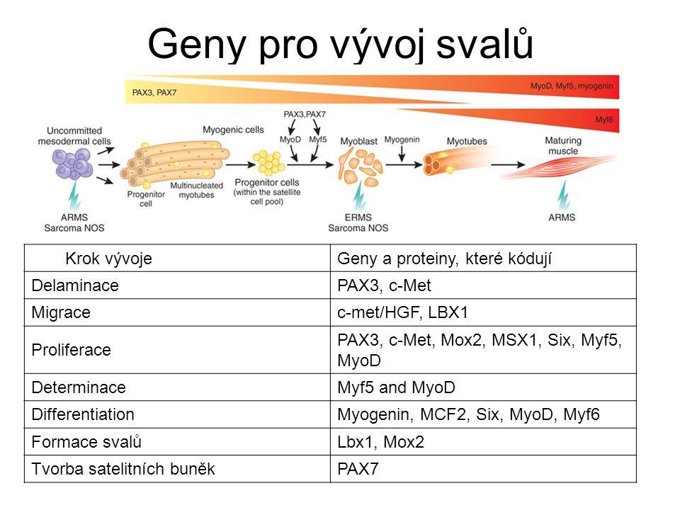 Geny pro vývoj svalů Krok vývojeGeny a proteiny, které kódují DelaminacePAX3, c-Met Migracec-met/HGF, LBX1 Proliferace PAX3, c-Met, Mox2, MSX1, Six, M