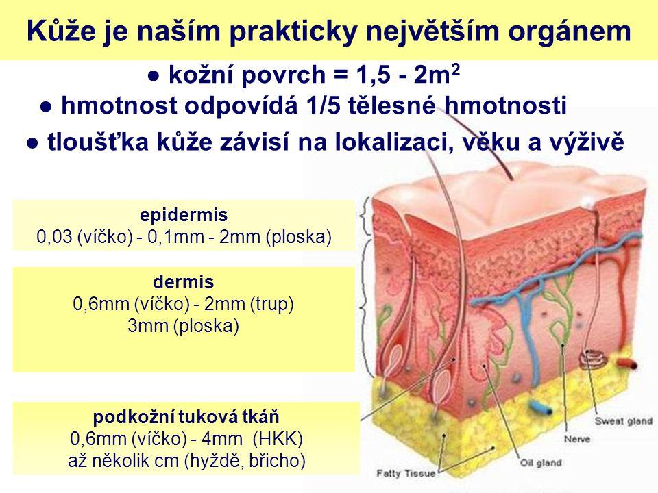 Kůže je naším prakticky největším orgánem epidermis 0,03 (víčko) - 0,1mm - 2mm (ploska) dermis 0,6mm (víčko) - 2mm (trup) 3mm (ploska) podkožní tuková