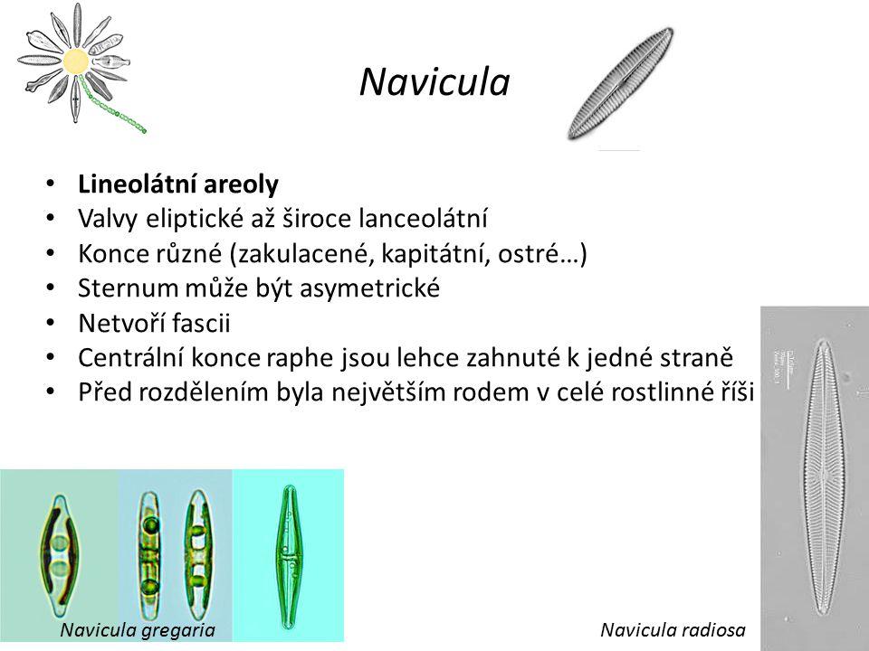 Navicula Lineolátní areoly Valvy eliptické až široce lanceolátní Konce různé (zakulacené, kapitátní, ostré…) Sternum může být asymetrické Netvoří fasc