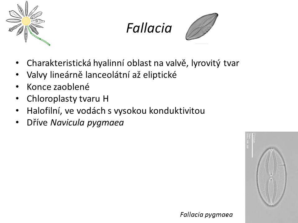 Fallacia Charakteristická hyalinní oblast na valvě, lyrovitý tvar Valvy lineárně lanceolátní až eliptické Konce zaoblené Chloroplasty tvaru H Halofiln