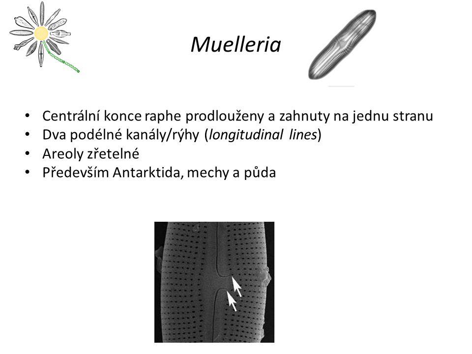 Muelleria Centrální konce raphe prodlouženy a zahnuty na jednu stranu Dva podélné kanály/rýhy (longitudinal lines) Areoly zřetelné Především Antarktid