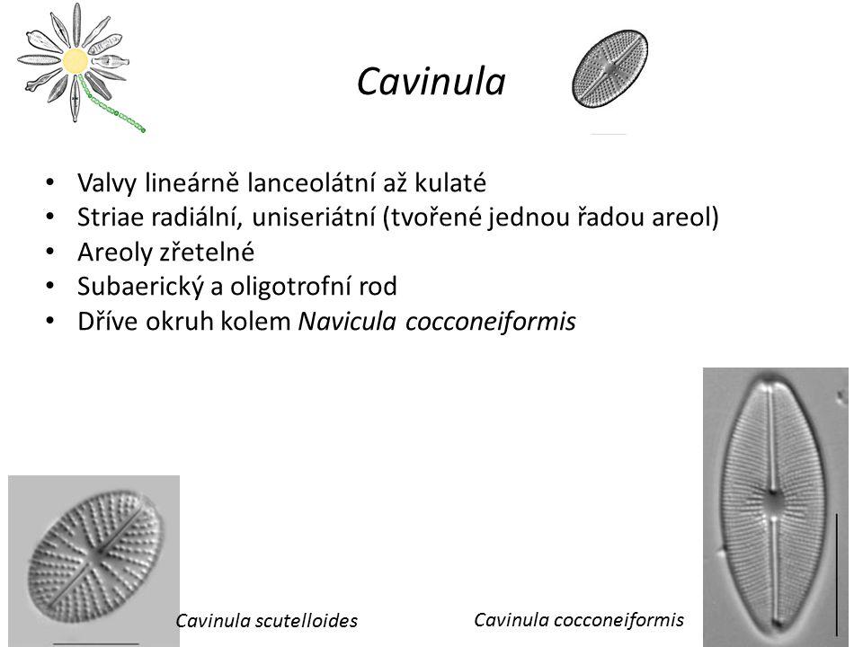 Cavinula Valvy lineárně lanceolátní až kulaté Striae radiální, uniseriátní (tvořené jednou řadou areol) Areoly zřetelné Subaerický a oligotrofní rod D