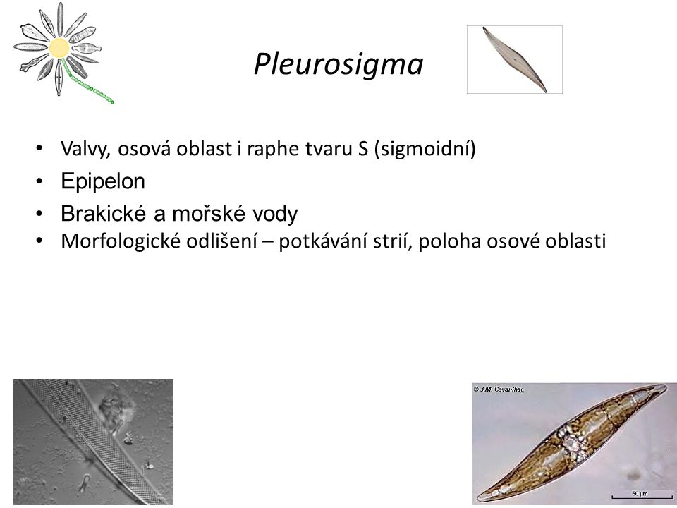Pleurosigma Valvy, osová oblast i raphe tvaru S (sigmoidní) Epipelon Brakické a mořské vody Morfologické odlišení – potkávání strií, poloha osové oblasti