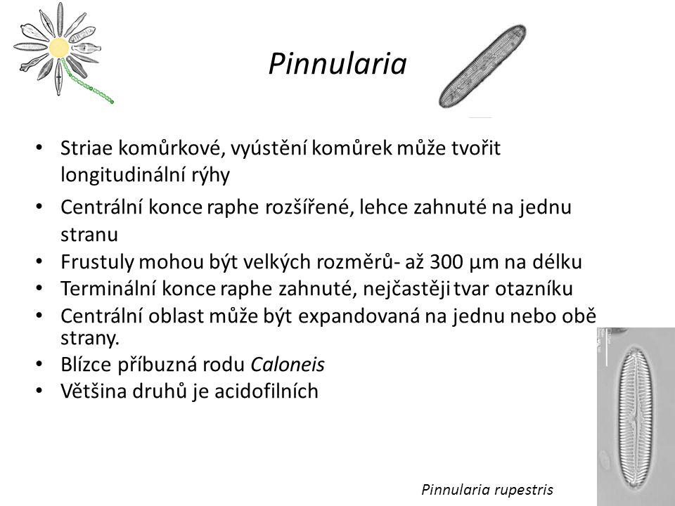 Pinnularia Striae komůrkové, vyústění komůrek může tvořit longitudinální rýhy Centrální konce raphe rozšířené, lehce zahnuté na jednu stranu Frustuly mohou být velkých rozměrů- až 300 µm na délku Terminální konce raphe zahnuté, nejčastěji tvar otazníku Centrální oblast může být expandovaná na jednu nebo obě strany.