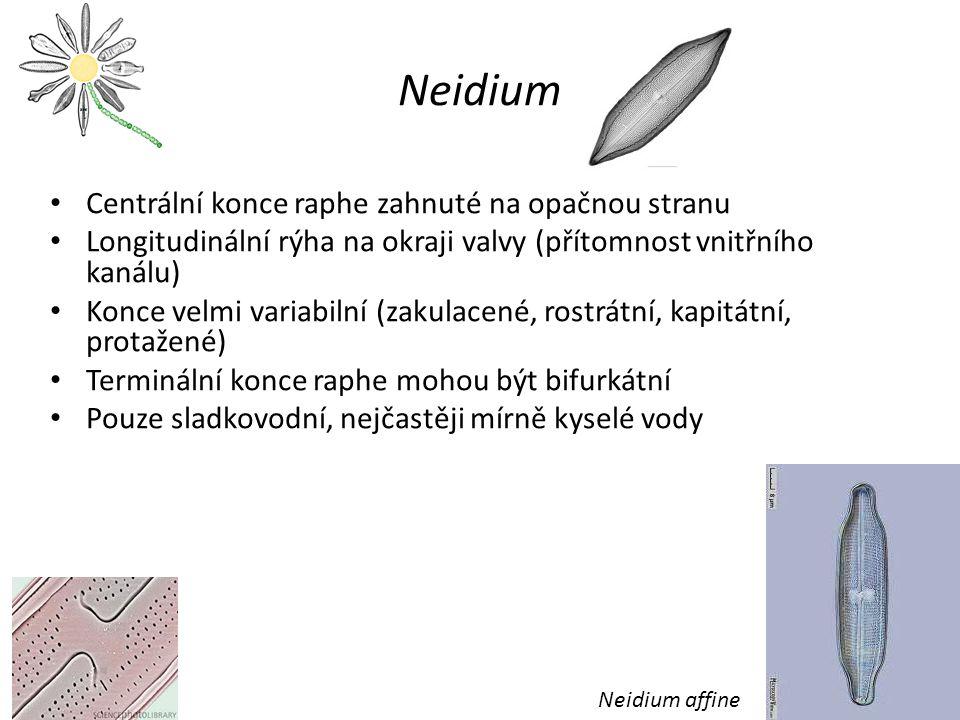 Neidium Centrální konce raphe zahnuté na opačnou stranu Longitudinální rýha na okraji valvy (přítomnost vnitřního kanálu) Konce velmi variabilní (zakulacené, rostrátní, kapitátní, protažené) Terminální konce raphe mohou být bifurkátní Pouze sladkovodní, nejčastěji mírně kyselé vody Neidium affine