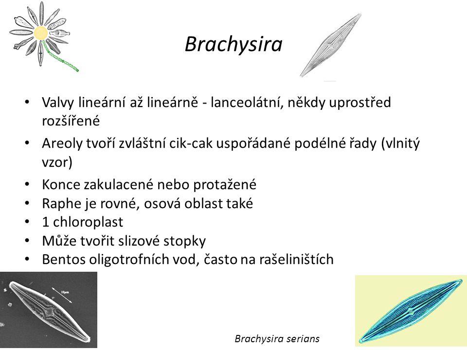 Brachysira Valvy lineární až lineárně - lanceolátní, někdy uprostřed rozšířené Areoly tvoří zvláštní cik-cak uspořádané podélné řady (vlnitý vzor) Konce zakulacené nebo protažené Raphe je rovné, osová oblast také 1 chloroplast Může tvořit slizové stopky Bentos oligotrofních vod, často na rašeliništích Brachysira serians