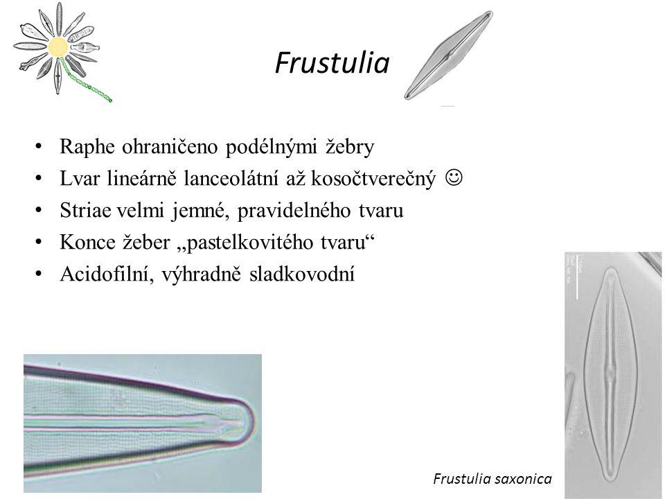 """Frustulia Raphe ohraničeno podélnými žebry Lvar lineárně lanceolátní až kosočtverečný Striae velmi jemné, pravidelného tvaru Konce žeber """"pastelkovitého tvaru Acidofilní, výhradně sladkovodní Frustulia saxonica"""