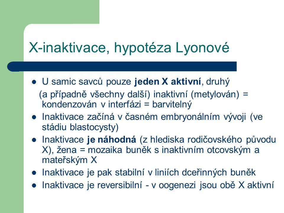 X-inaktivace, hypotéza Lyonové U samic savců pouze jeden X aktivní, druhý (a případně všechny další) inaktivní (metylován) = kondenzován v interfázi = barvitelný Inaktivace začíná v časném embryonálním vývoji (ve stádiu blastocysty) Inaktivace je náhodná (z hlediska rodičovského původu X), žena = mozaika buněk s inaktivním otcovským a mateřským X Inaktivace je pak stabilní v liniích dceřinných buněk Inaktivace je reversibilní - v oogenezi jsou obě X aktivní