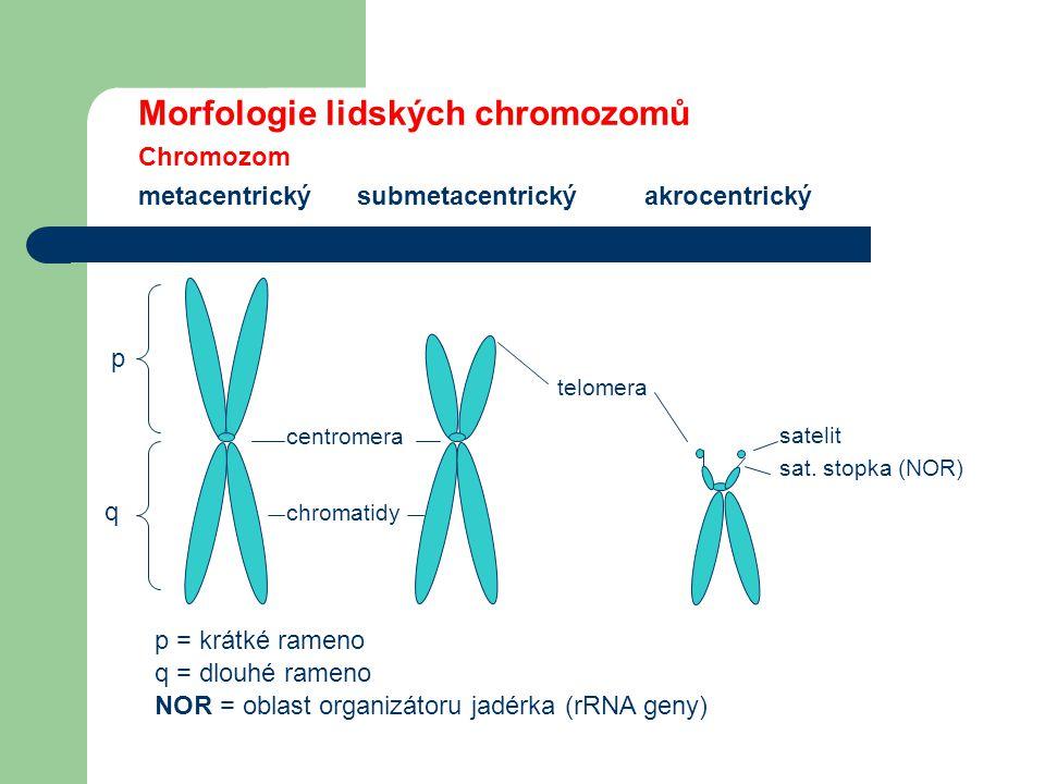 Morfologie lidských chromozomů Chromozom metacentrický submetacentrický akrocentrický q p centromera chromatidy telomera satelit sat.
