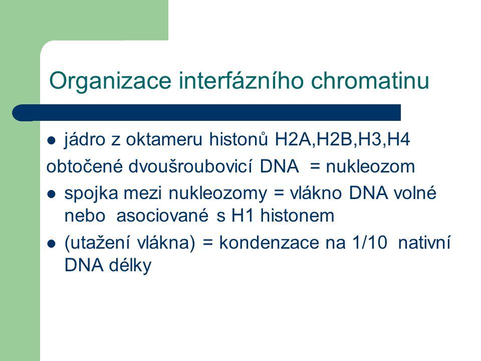 Organizace interfázního chromatinu Nukleozom: jádro z oktameru histonů H2A,H2B,H3,H4 obtočené dvoušroubovicí DNA = nukleozom spojka mezi nukleozomy = vlákno DNA volné nebo asociované s H1 histonem (utažení vlákna) = kondenzace na 1/10 nativní DNA délky