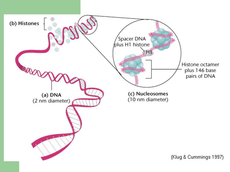 Barvení Metoda G pruhů působení roztoku trypsinu (enzymatická metoda) nebo solných roztoků před vlastním obarvením – různé chromozomální části různě denaturovány trypsinem a odlišně se barví Giemsou Metoda R-pruhů působení solných roztoků za vyšší teploty a vyššího pH → pruhování opačné k G pruhům (tmavé G pruhy jsou v R pruzích světlé)