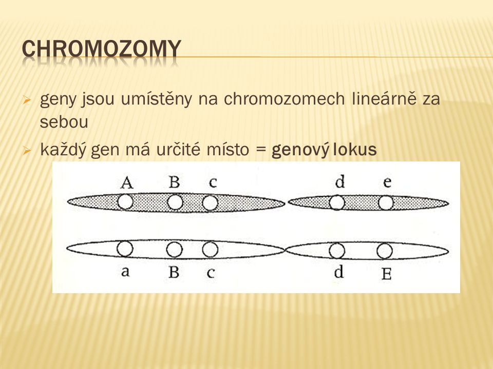  geny jsou umístěny na chromozomech lineárně za sebou  každý gen má určité místo = genový lokus