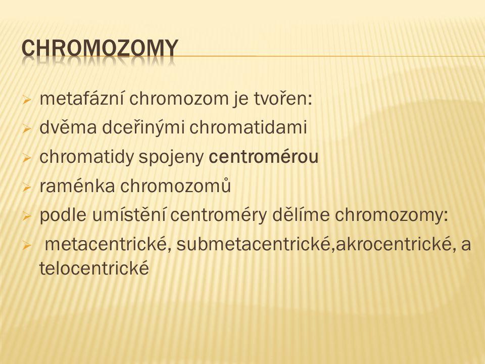 metafázní chromozom je tvořen:  dvěma dceřinými chromatidami  chromatidy spojeny centromérou  raménka chromozomů  podle umístění centroméry dělí