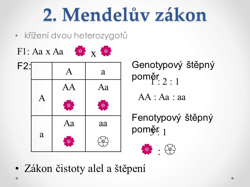 2. Mendelův zákon křížení dvou heterozygotů F1: Aa x Aa  x  Zákon čistoty alel a štěpení Aa A AA  Aa  a Aa  aa  F2: Genotypový štěpný poměr Feno