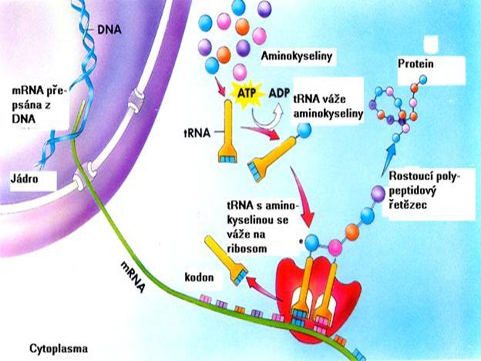 Genetický kód po řadě pokusů bylo dokázáno, že genetický kód je tripletový, to znamená, že každá trojice bází kóduje jednu aminokyselinu tyto trojúseky na mRNA se nazývají kodony celkem jsou 4 báze, takže pro kombinaci máme celkem 4x4x4=64 možností důležitý je triplet AUG, neboť jde o triplet iniciační a triplety UAA, UAG a UGA, které jsou označovány jako triplety terminační, neboli beze smyslu