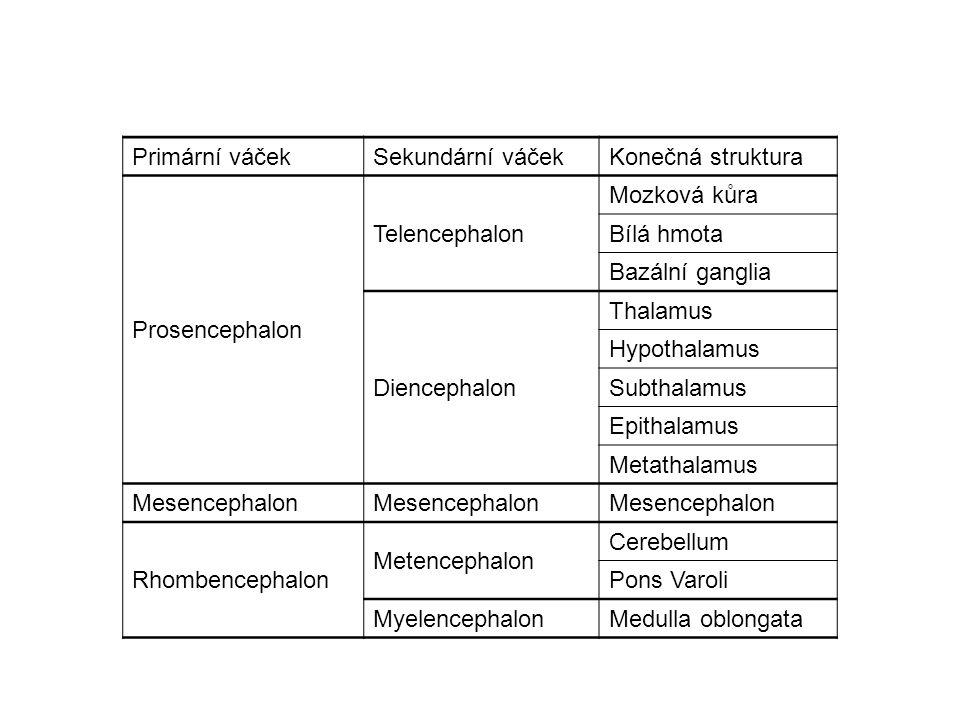 Primární váčekSekundární váčekKonečná struktura Prosencephalon Telencephalon Mozková kůra Bílá hmota Bazální ganglia Diencephalon Thalamus Hypothalamus Subthalamus Epithalamus Metathalamus Mesencephalon Rhombencephalon Metencephalon Cerebellum Pons Varoli MyelencephalonMedulla oblongata