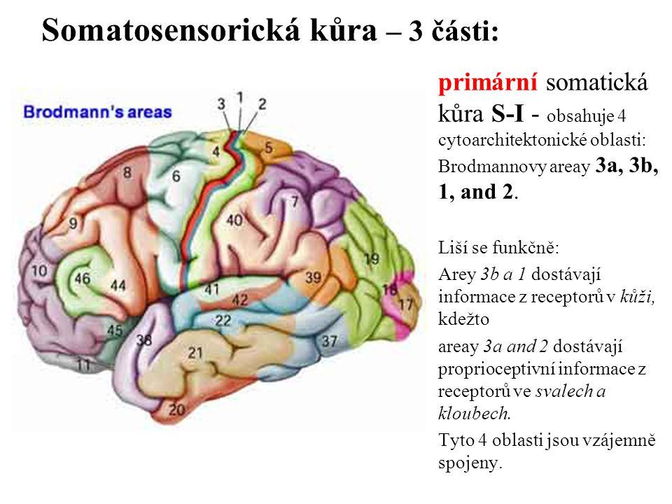 Somatosensorická kůra – 3 části: primární somatická kůra S-I - obsahuje 4 cytoarchitektonické oblasti: Brodmannovy areay 3a, 3b, 1, and 2. Liší se fun