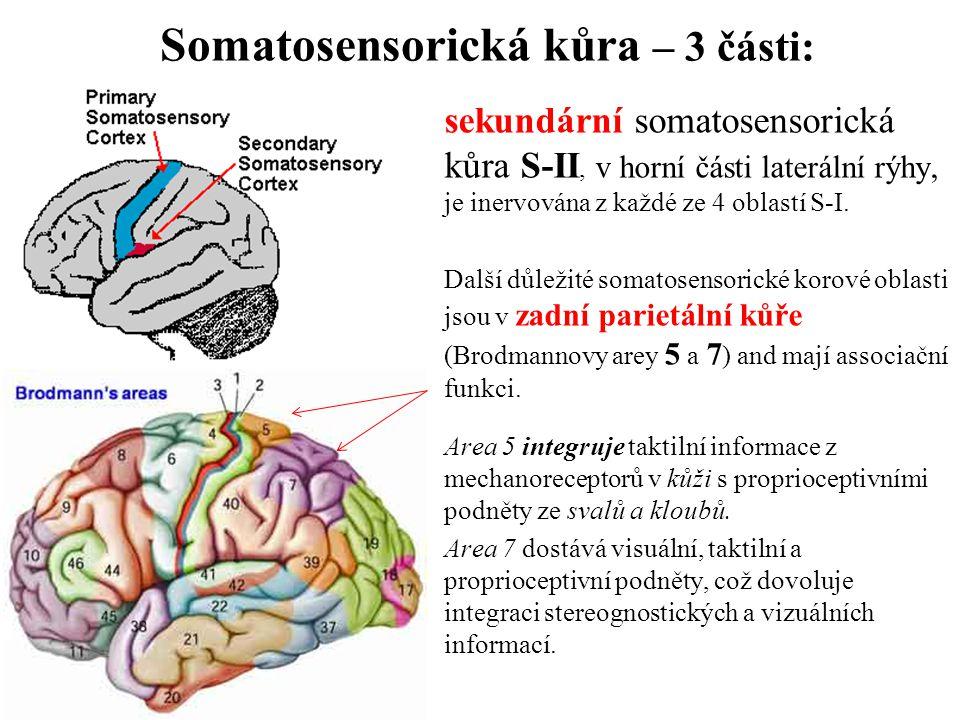 Somatosensorická kůra – 3 části: sekundární somatosensorická kůra S-II, v horní části laterální rýhy, je inervována z každé ze 4 oblastí S-I. Další dů