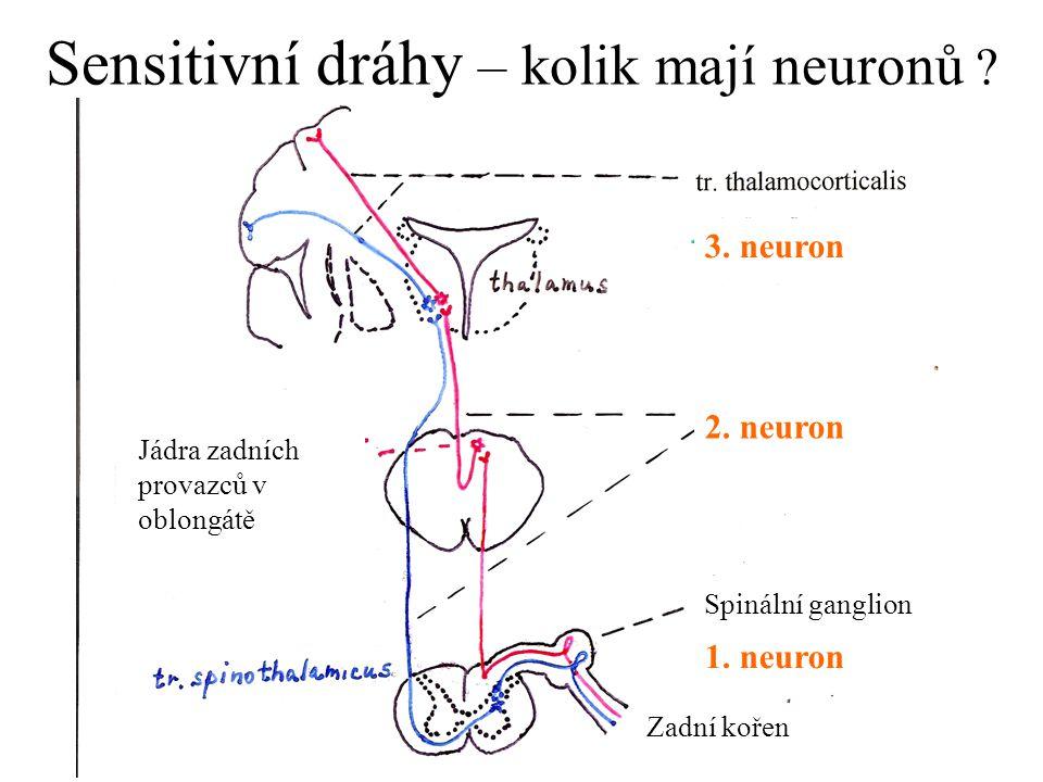 Sensitivní dráhy – kolik mají neuronů ? 1. neuron 2. neuron 3. neuron Spinální ganglion Zadní kořen Jádra zadních provazců v oblongátě