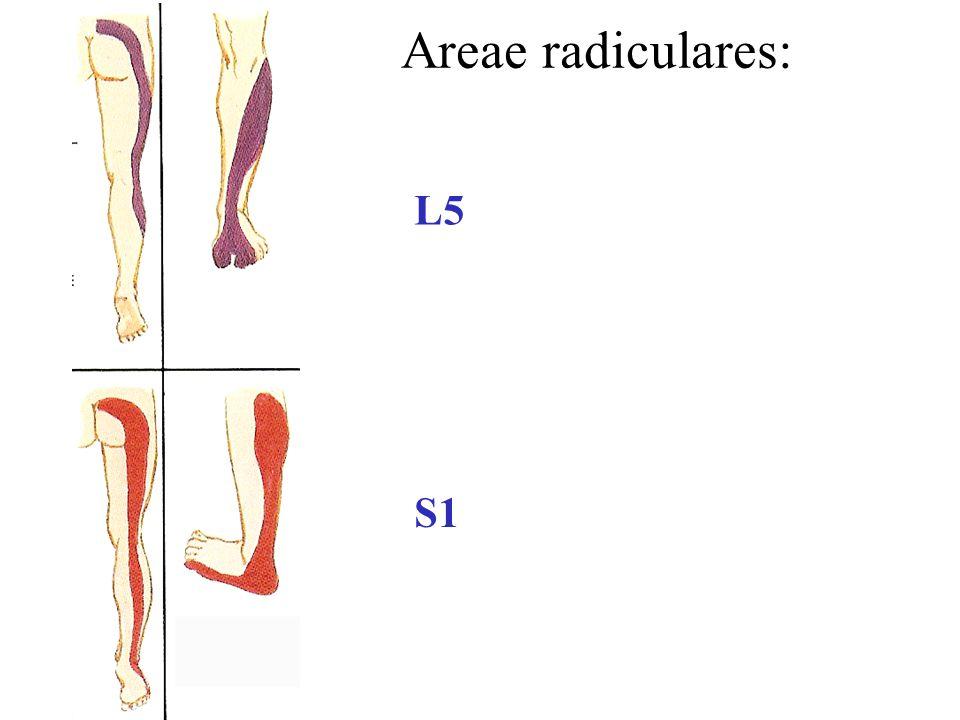 Areae radiculares: L5 S1