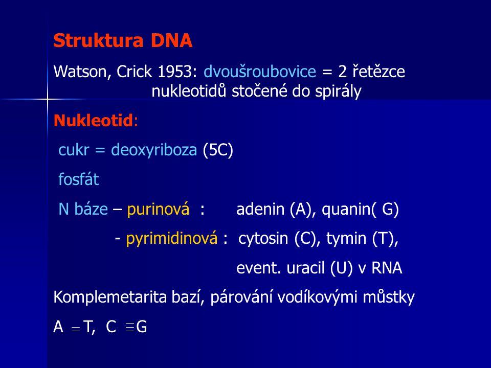 Struktura DNA Watson, Crick 1953: dvoušroubovice = 2 řetězce nukleotidů stočené do spirály Nukleotid: cukr = deoxyriboza (5C) fosfát N báze – purinová : adenin (A), quanin( G) - pyrimidinová : cytosin (C), tymin (T), event.