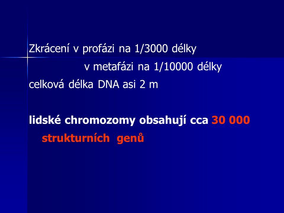 Zkrácení v profázi na 1/3000 délky v metafázi na 1/10000 délky celková délka DNA asi 2 m lidské chromozomy obsahují cca 30 000 strukturních genů