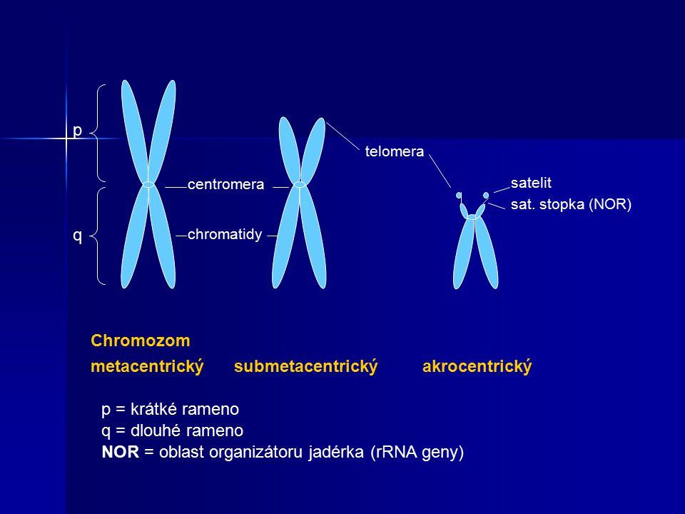 Chromozom metacentrický submetacentrický akrocentrický centromera p q chromatidy telomera satelit sat.