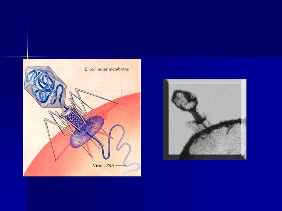 Chromatin Euchromatin Euchromatin despiralizován v interfázi despiralizován v interfázi spiralizován v mitoze spiralizován v mitoze obsahuje strukturní geny obsahuje strukturní geny Heterochromatin Heterochromatin repetitivní sekvence,neobsahuje strukturní geny repetitivní sekvence,neobsahuje strukturní geny v interfázi poněkud spiralizován – barvitelný v interfázi poněkud spiralizován – barvitelný