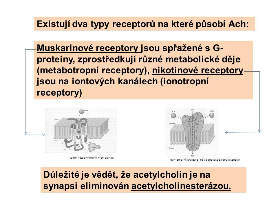 Existují dva typy receptorů na které působí Ach: Muskarinové receptory jsou spřažené s G- proteiny, zprostředkují různé metabolické děje (metabotropní receptory), nikotinové receptory jsou na iontových kanálech (ionotropní receptory) Důležité je vědět, že acetylcholin je na synapsi eliminován acetylcholinesterázou.