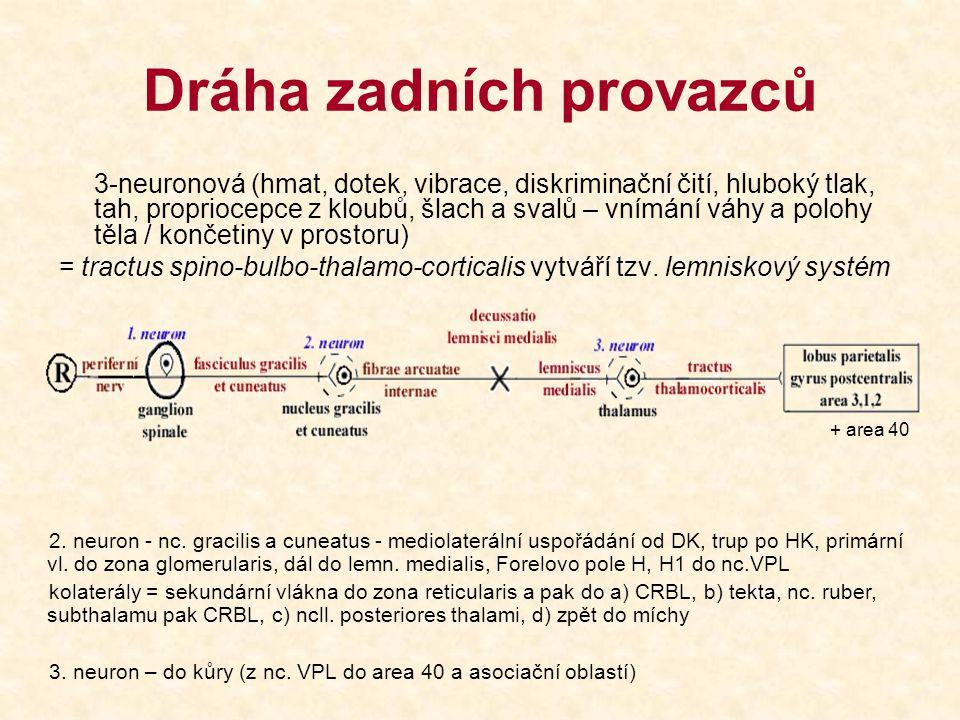 Dráha zadních provazců 3-neuronová (hmat, dotek, vibrace, diskriminační čití, hluboký tlak, tah, propriocepce z kloubů, šlach a svalů – vnímání váhy a