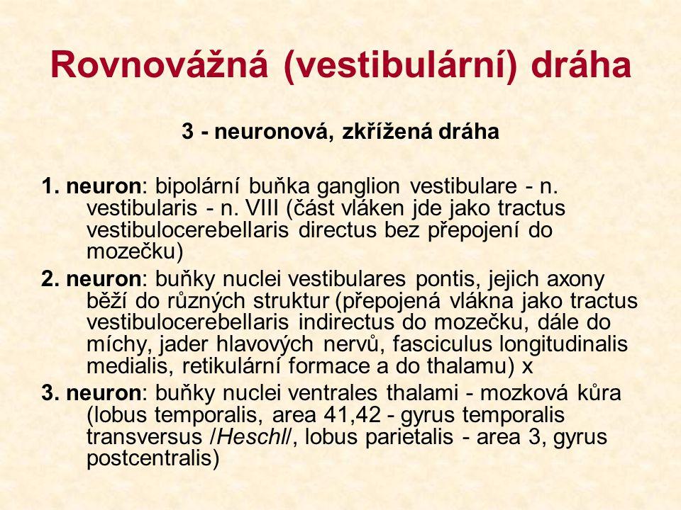 Rovnovážná (vestibulární) dráha 3 - neuronová, zkřížená dráha 1. neuron: bipolární buňka ganglion vestibulare - n. vestibularis - n. VIII (část vláken