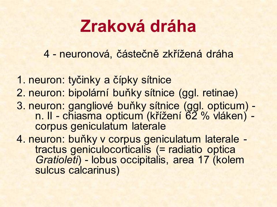 Zraková dráha 4 - neuronová, částečně zkřížená dráha 1. neuron: tyčinky a čípky sítnice 2. neuron: bipolární buňky sítnice (ggl. retinae) 3. neuron: g