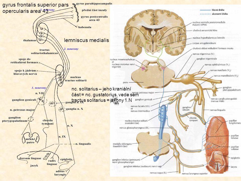 gyrus frontalis superior pars opercularis area 43 lemniscus medialis nc. solitarius – jeho kraniální část = nc. gustatorius, vede sem tractus solitari