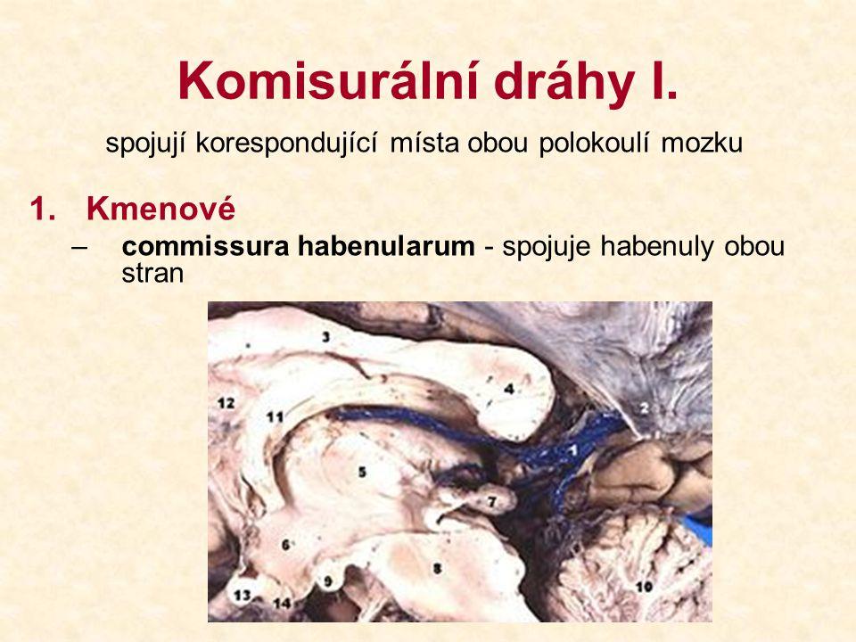 Komisurální dráhy I. spojují korespondující místa obou polokoulí mozku 1.Kmenové –commissura habenularum - spojuje habenuly obou stran