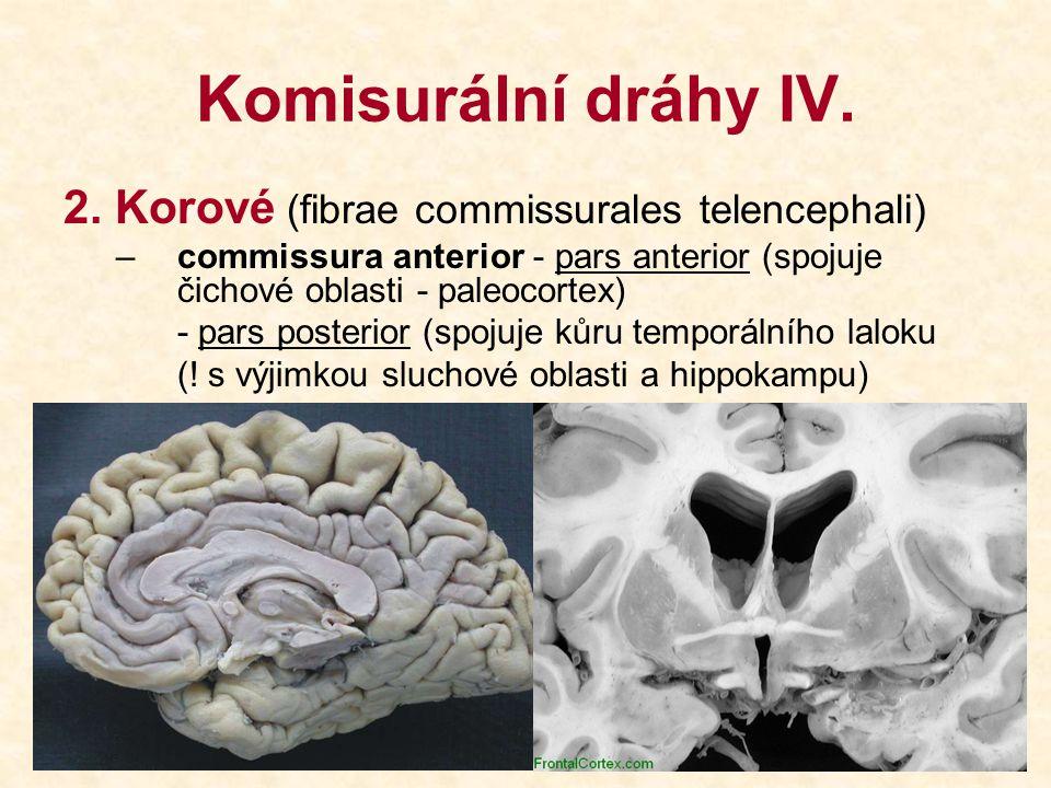 Komisurální dráhy IV. 2. Korové (fibrae commissurales telencephali) –commissura anterior - pars anterior (spojuje čichové oblasti - paleocortex) - par