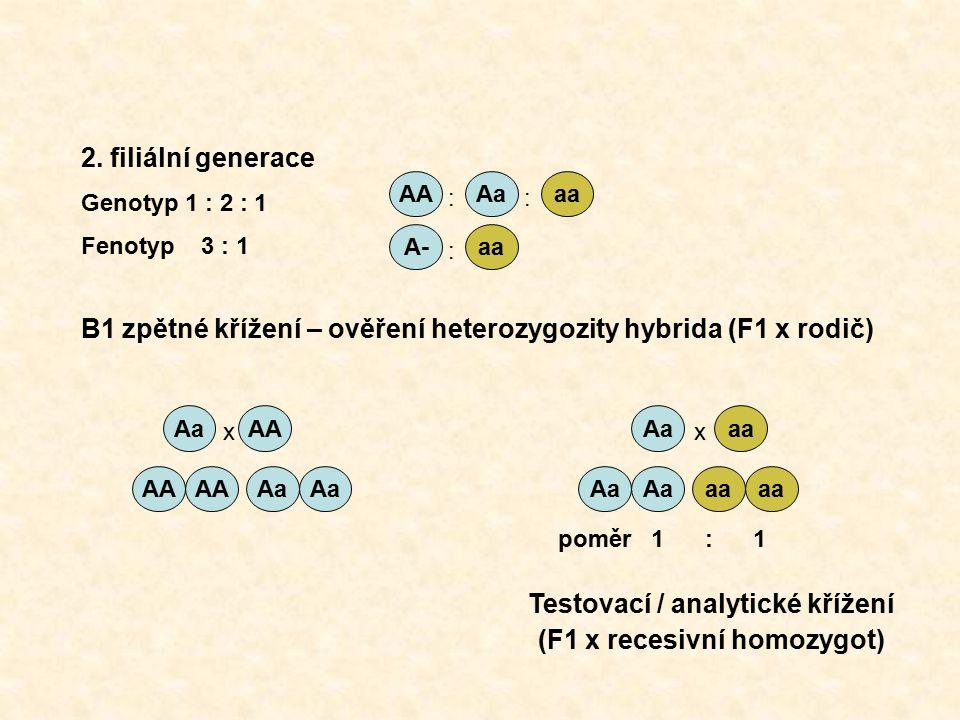 AAAaaa A-aa :: : AAAa aa AA Aa aa 2. filiální generace Genotyp 1 : 2 : 1 Fenotyp 3 : 1 B1 zpětné křížení – ověření heterozygozity hybrida (F1 x rodič)