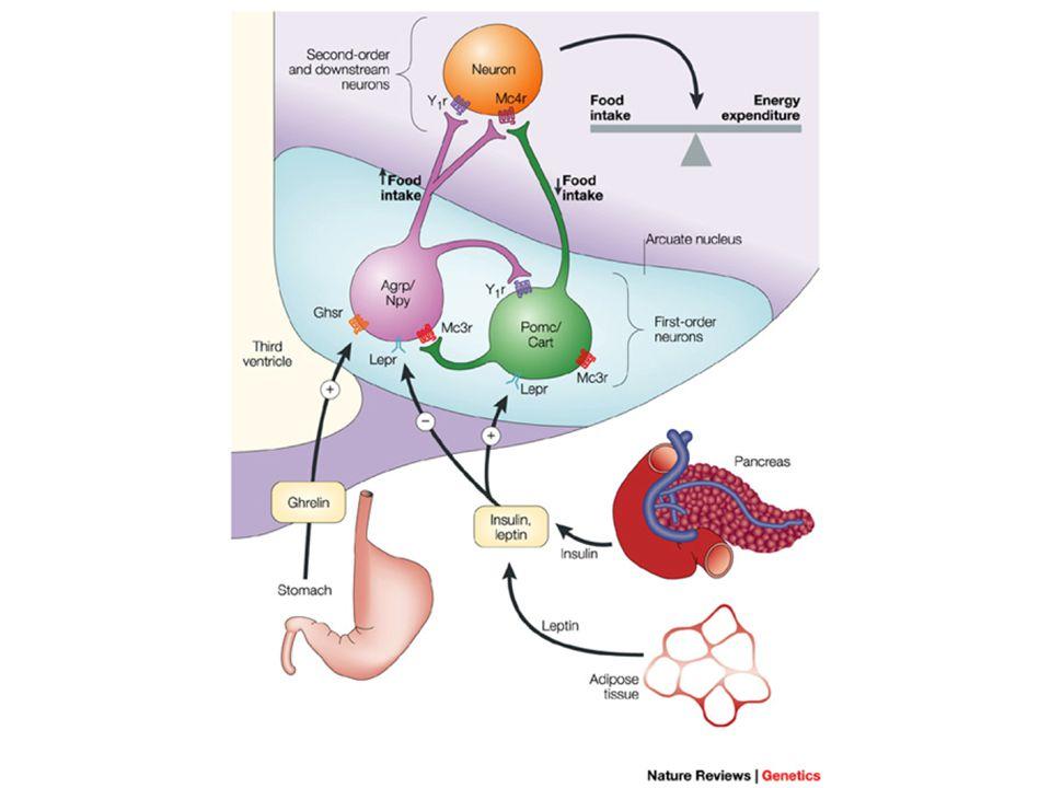 Regulace z GIT Ghrelin Gastrický hormon Aktivuje NPY/AgRP exprimující neurony PYY peptid Kolon Inhibuje NPY/AgRP exprimující neurony