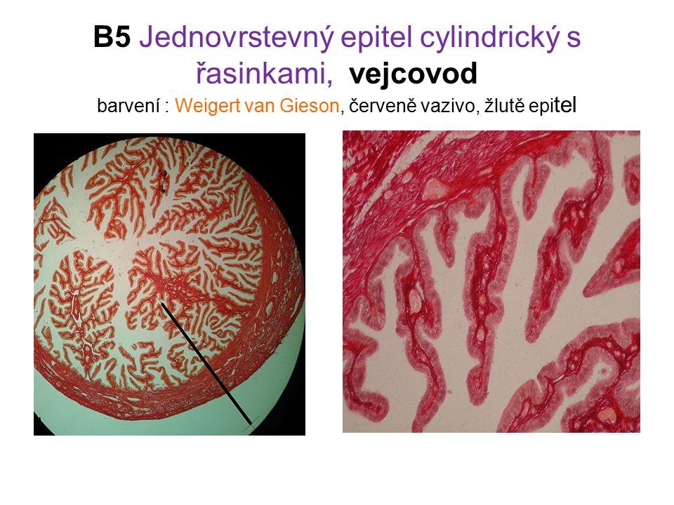 B5 Jednovrstevný epitel cylindrický s řasinkami, vejcovod barvení : Weigert van Gieson, červeně vazivo, žlutě epi tel
