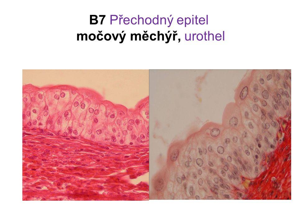 B7 Přechodný epitel močový měchýř, urothel