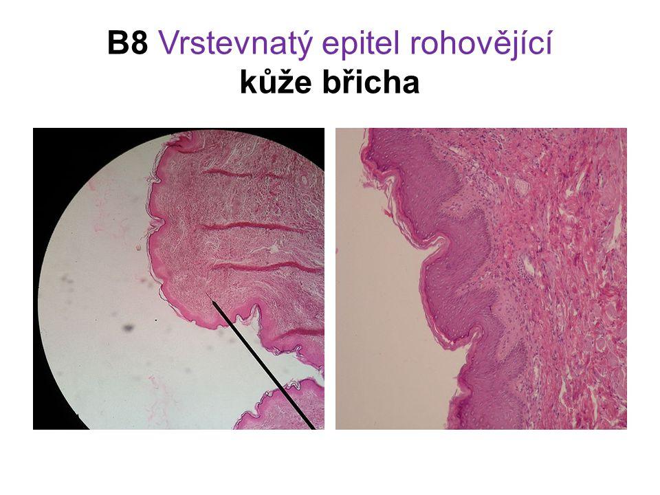 B8 Vrstevnatý epitel rohovějící kůže břicha