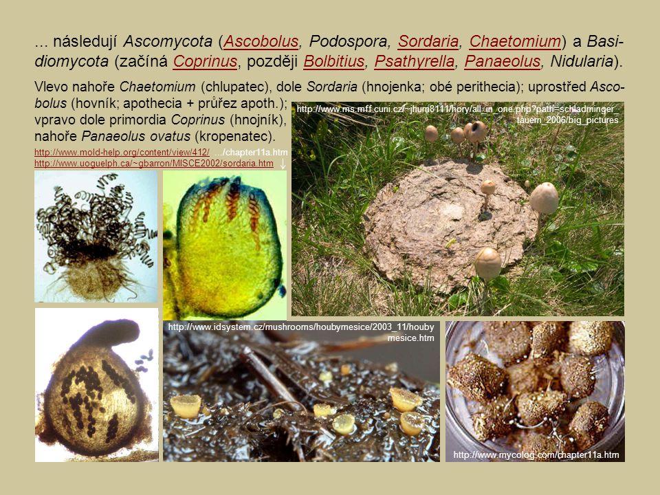 ... následují Ascomycota (Ascobolus, Podospora, Sordaria, Chaetomium) a Basi- diomycota (začíná Coprinus, později Bolbitius, Psathyrella, Panaeolus, N