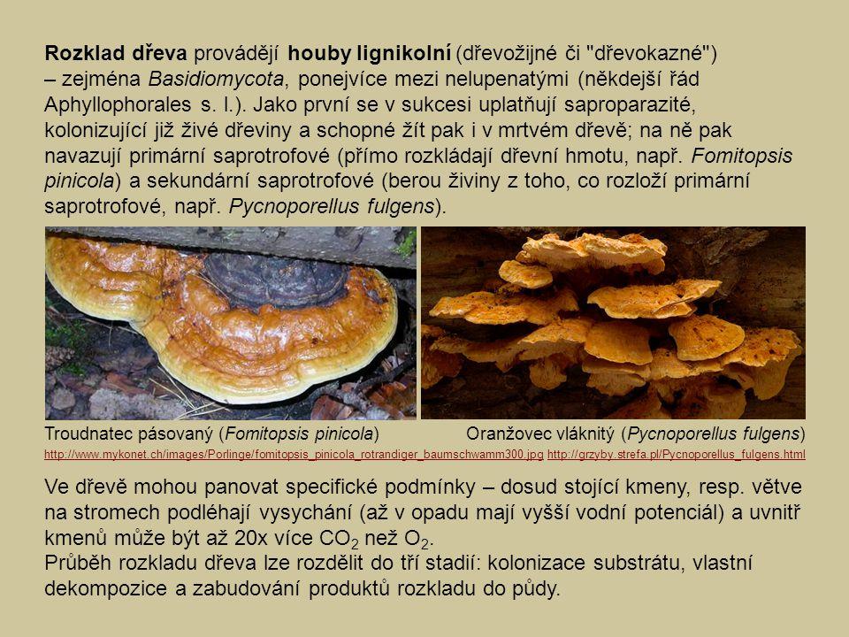 Rozklad dřeva provádějí houby lignikolní (dřevožijné či