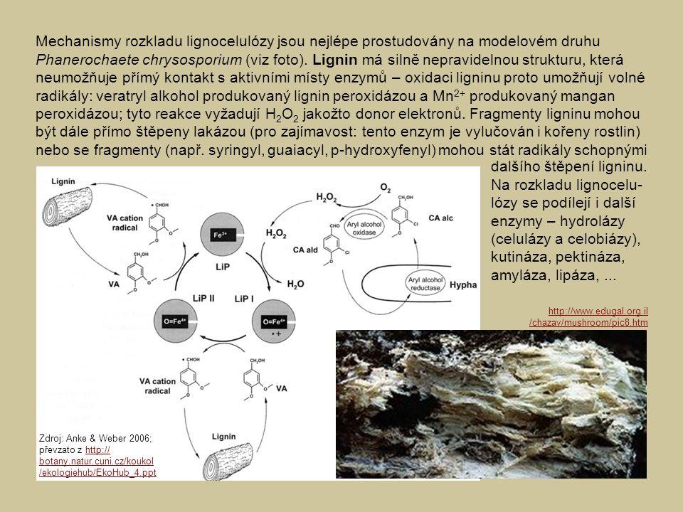 Mechanismy rozkladu lignocelulózy jsou nejlépe prostudovány na modelovém druhu Phanerochaete chrysosporium (viz foto). Lignin má silně nepravidelnou s